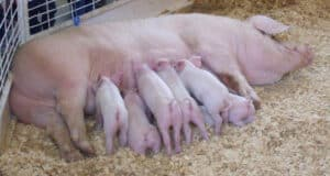 you need to consider artificial insemination, pigs, cattle, hogs, gilt, why you need to consider artificial insemination for your farm, artificial insemination, homesteading, dairy cow, beef cow, meat production, reproduction, animal science, swine, pigs, heiferssow, cow, bull, boar, stud, AI, farrowing, calving, piglet, calf, steer, genetics