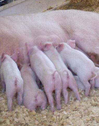 artificial insemination in pigs,hogs, sow, gilt, piglet, artificially inseminate, artificial insemination, backyard farming, meat production, pork production