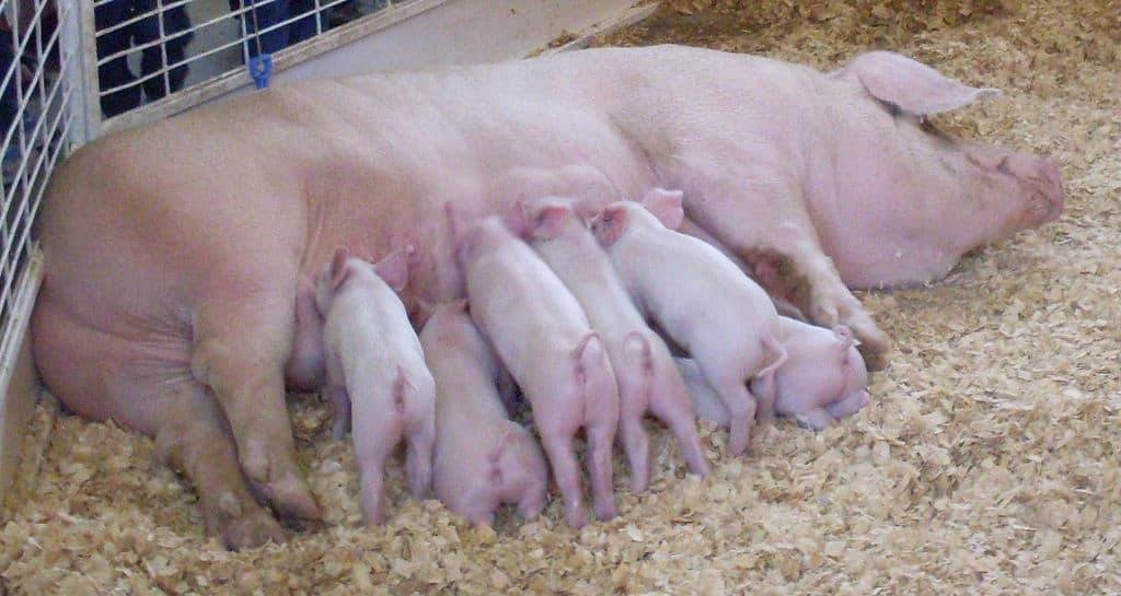 Artificial Insemination in Pigs