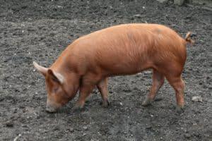 meat pig breeds