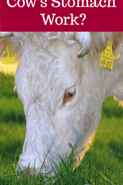 what does ruminant mean, rumination, ruminant digestion, ruminant digestive system, ruminant stomach, cow stomach, does a cow have four stomachs, does a cow have two stomachs, how many stomachs does a cow have, what are the four compartments of a cow's stomach, does a cow have 2 stomachs, how does a cow's stomach work, how does a cow ruminate, how does a ruminant dogestive system work, how does a ruminant digest