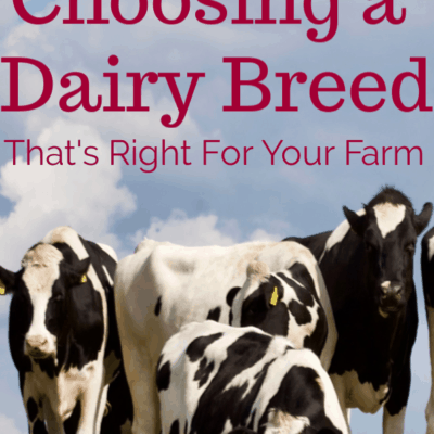Choosing a Dairy Cow Breed For Your Farm