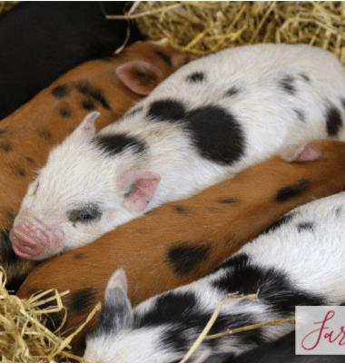 choosing a boar