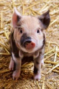 boar selection, breeding pigs, piglets, loin eye area, intramuscular fat, stress, napole, farrowing, litter, breeding stock, days to 250, backfat, sow, gilt, meat hog, meat production
