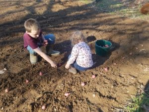 potatoes, red potato, garden, growing, mashed potatoes, food, Irish, homestead