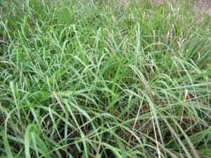 benefits of native grasses, big blusetem, andropogon gerardii, indiangrass, sorghastrum nutans, eastern gamagrass, tripsacum dactyloides, little bluestem, schizachyrium scoparium, switchgrass, panicum virgatum, native grasses, pasture, benefits, grass