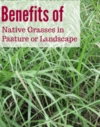 benefits of native grasses, native grasses landscaping, native grasses, pasture grasses, native grasses for cattle, pasture management, what kind of grass should I plant in my horse pasture, what kind of grass should i plant in my pasture, planting native grasses