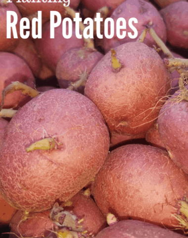 potato garden, potato gardening, potato gardening ideas, growing potatoes, how to grow potatoes, planting potatoes, red potato garden, growing red potatoes