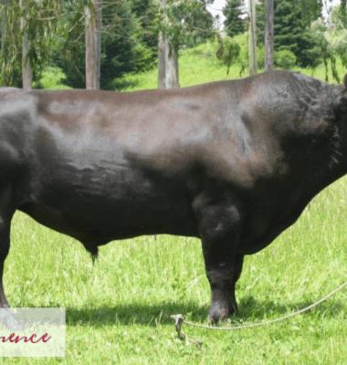 wagyu beef bull