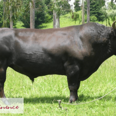 Raising Wagyu Beef Cattle