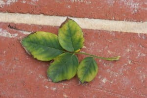 plant illnesses and how to prepare for them, Creating a health plan for your plants, farminence,powdery mildew, botrytis, disease, toxicity, deficiency