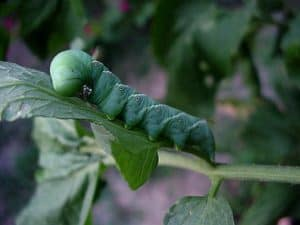 plant illness, plant diseases, plant diseases identification, plant disease identification leaves, plant diseases leaves, plant pests, plant fungus