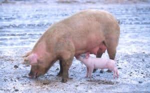 pig pregnancy
