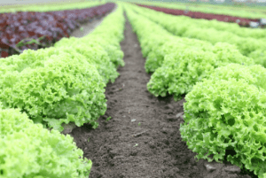 cool weather crop lettuce