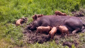 beginners guide to raising pigs, raising pigs, raising pigs for meat, raising pigs for beginenrs, pigs meat, pigs for meat, pigs for beginners, how to raise pigs, how to raise pigs for meat, raising hogs, raising hogs for meat, raising hogs to butcher, raising hogs for market, guide to meat pig farming, guide to meat pigs