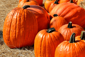 how to grow pumpkins for jack o lanterns