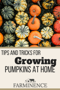how to grow pumpkins for jack o lanterns and fall decor