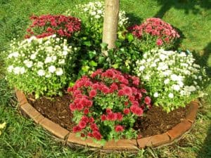 planting mums in the ground