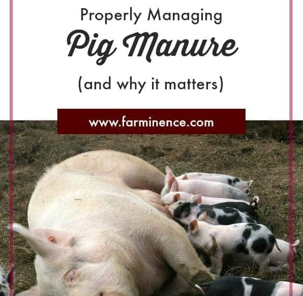 Pig Manure: 4 Ways to Manage It [And Why It's Important!]