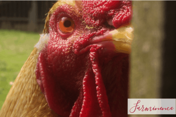 Removing Rooster Spurs: 5 Ways to Remove Them