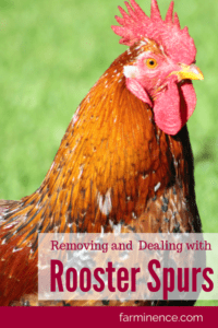 removing rooster spurs
