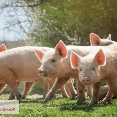 Beginner's Guide To Raising Pigs for Meat