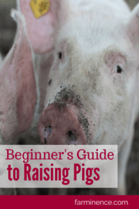 raising pigs for meat