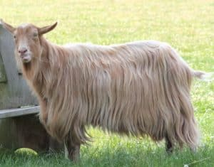 dairy goat breeds, dairy goats, dairy goat association, dairy goat breed comparison, dairy goat breeds in the US, dairy goat breeds milk production, best breeds of dairy goats, what are the breeds of dairy goats, common breeds of dairy goats
