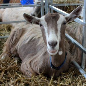 Dairy Goat Breeds- A Guide to the Best Breeds of Dairy Goats