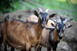 getting goats, keeping goats, goats
