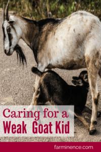 goat kid care, sick goat kid, weak goat kid, how to take care of weak baby goat, how to take care of a sick baby goat, weak kid syndrome