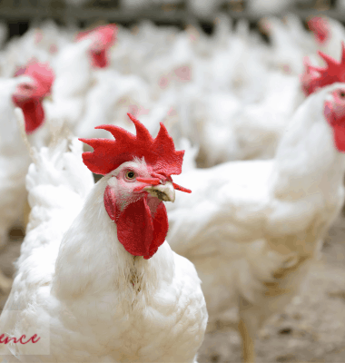 water belly in chickens, ascites in chickens, preventing ascites in chickens