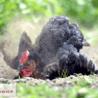 Why do chickens need dust baths?