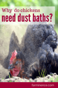 why do chickens need dust baths, dust bath for chickens, do chickens need dust baths, why are dust baths necessary for chicken health