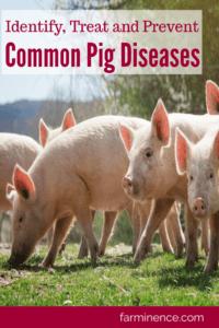 common pig diseases, types of pig disease, common swine diseases pig diseases and symptoms