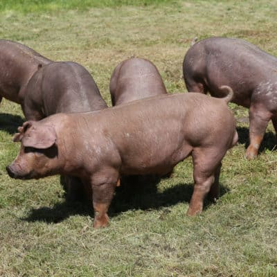 Common Pig Diseases