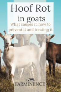 treating hoof rot in goats, what is foot rot in goats