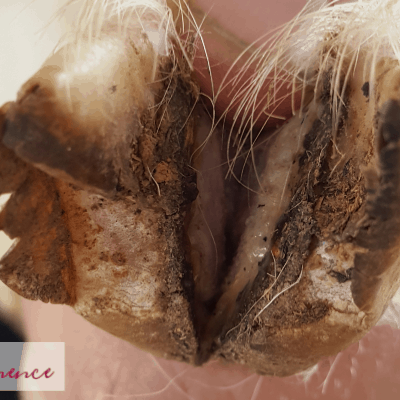Treating Hoof Rot in Goats