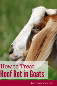 treating hoof rot in goats, treating hoof thrush, treating hoof scald in goats, foot rot in goats, foot rot treatment, hoof rot in goats pictures, hoof rot treatment
