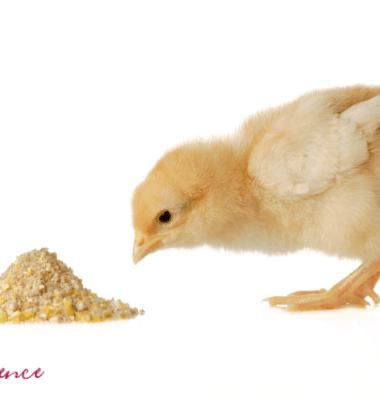 chicken feed, broiler chicken fee, organic chicken feed, growing chicken feed, best chicken feed