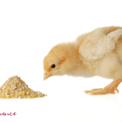 What to Feed to Chickens: A Guide to Understanding Chicken Feeds