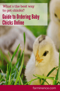 ordering baby chicks online