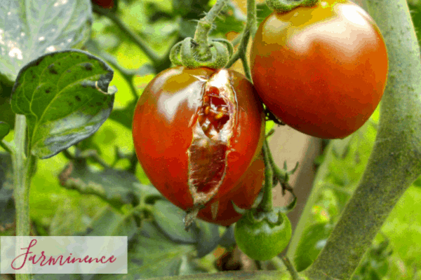 10 Common Tomato Plant Problems [Diagnosing and Treating