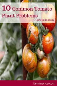 tomato plant problems, common tomato plant problems