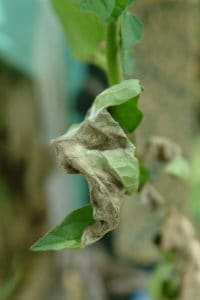 10 common tomato plant problems, late blight