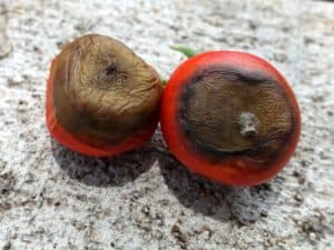 10 common tomato plant problems, blossom end rot