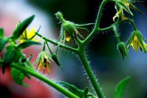 10 common tomato plant problems, tomato flowers