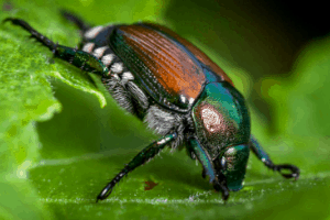 what to for japanese beetles, what is the japanese beetle
