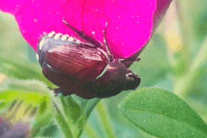 what to for japanese beetles, what do japanese beetles eat