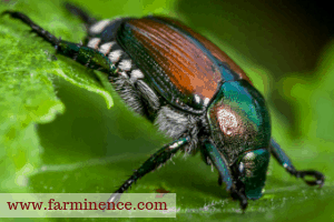what are japanese beetles, what to for japanese beetles, japanese beetle control